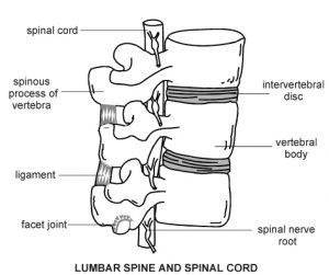 the spine or vertebral column or spinal column or backbone